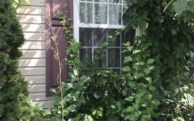 Infested entryway and garden with poison ivy